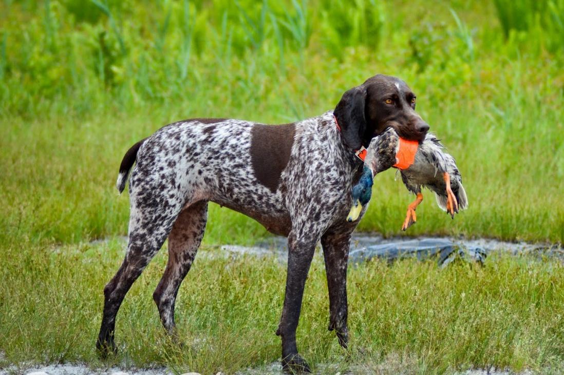 Training An Upland Bird Dog